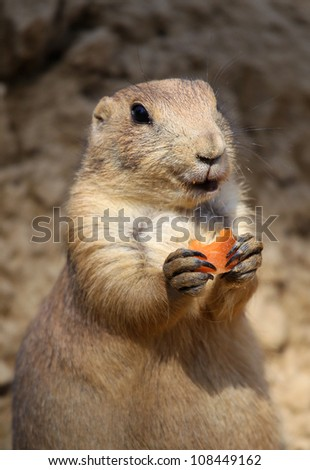 cute little prairie dog eating a carrot - stock photo