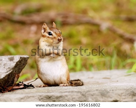 Cute little pregnant chipmunk posing - stock photo