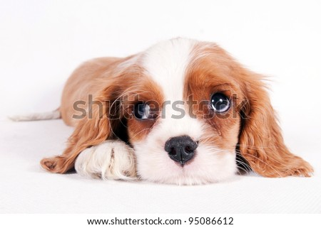 Cute little puppy of Cavalier King Charles spaniel - stock photo