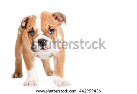 Cute little puppy of English Bulldog isolated on white background looking at camera,selective focus and empty space  - stock photo