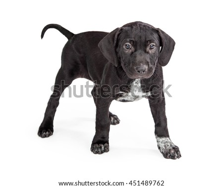 Cute little puppy with Black and White fur standing over white studio background