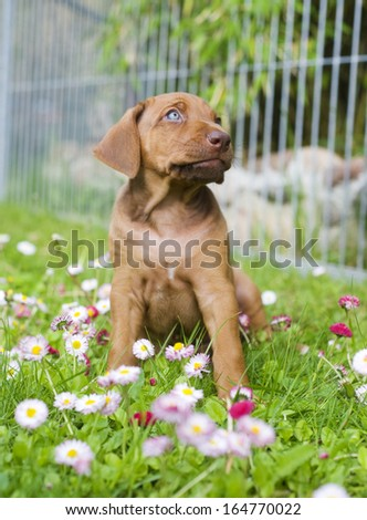 Cute little Rhodesian Ridgeback puppy is sitting in the grass in garden. The little dog is looking up funny between lots of little summer daisy flowers. The puppy is five weeks of age.