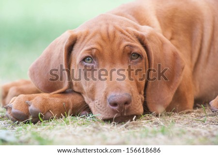 Cute little Rhodesian Ridgeback puppy is snoozing in garden. It is looking straight into the camera while lying in the green grass.  The little dogs are five weeks of age. - stock photo
