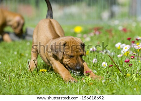Cute little Rhodesian Ridgeback puppy playing in the grass in garden. It is biting in a flower and has a funny expression in face while stretching the whole body. The little dog is five weeks of age. - stock photo