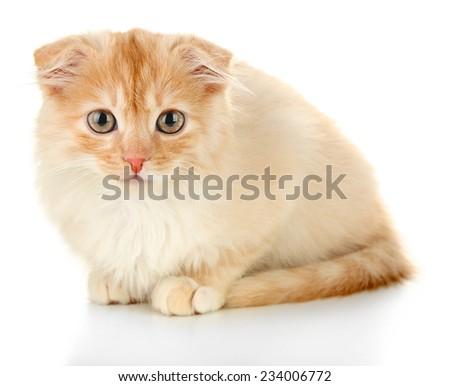 Cute little Scottish fold kitten, isolated on white  - stock photo
