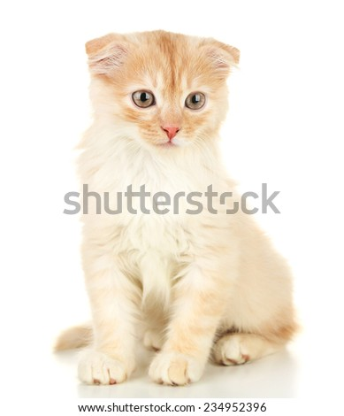 Cute little Scottish fold kitten, isolated on white  - stock photo