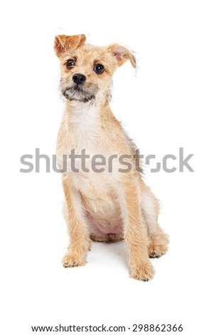 Cute little scruffy mixed breed terrier puppy sitting on a white background with a curious expression - stock photo