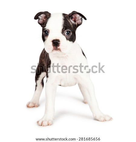Cute little seven week old Boston Terrier puppy standing on a white background and looking forward at the camera - stock photo