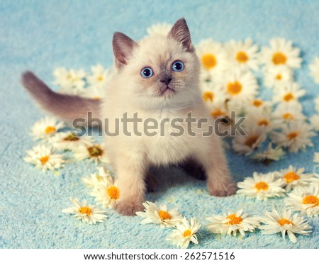 Cute little siamese kitten with flowers  - stock photo