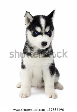 Cute little siberian husky puppy - stock photo