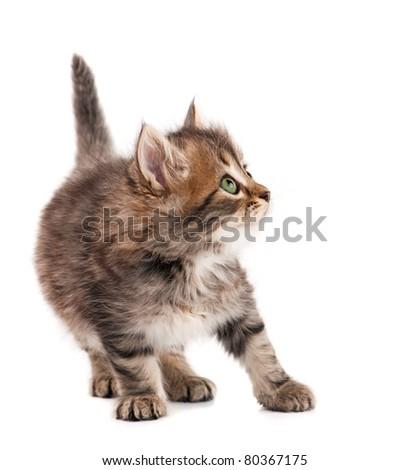 Cute little Siberian kitten isolated on white background - stock photo
