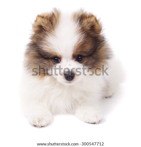 cute little spitz puppy with the soap bubbles