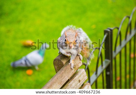 Cute little squirrel running on the bench with a pigeon on the background - stock photo