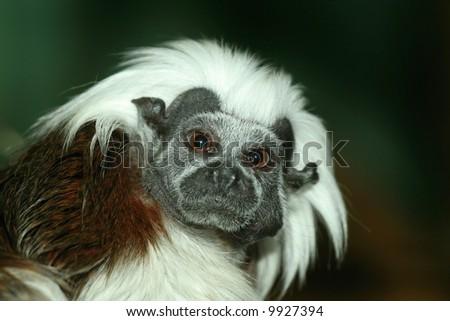 cute little staring monkey - stock photo
