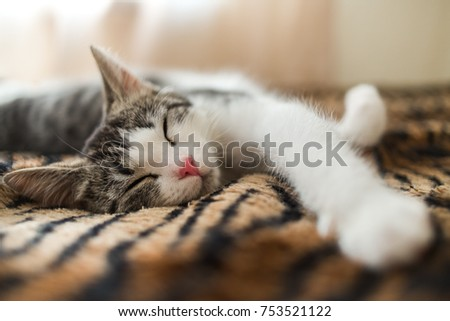 Cute little striped kitten sleeps on fur tiger blanket