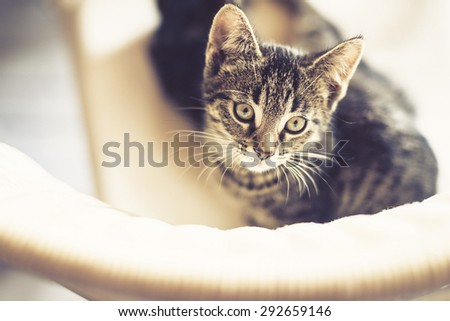 Cute little striped tabby kitten sitting on a chair staring up at the camera with large eyes and an intense expression