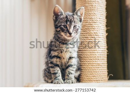 Cute little tabby kitten with a new scratching post sitting close up against it staring thoughtfully ahead - stock photo