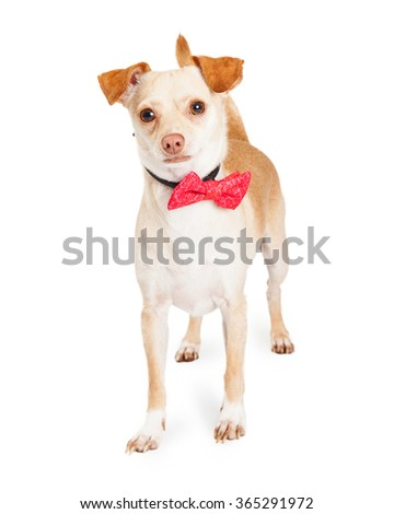 Cute little tan color Chihuahua dog standing over white wearing a pink bow tie collar