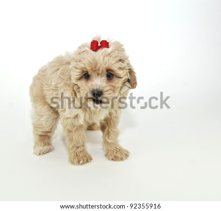 Cute little tan puppy that looks like she is talking on a white background. - stock photo