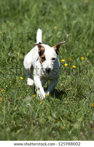 Cute Little Tricolored Jack Russell Terrier running through a me - stock photo