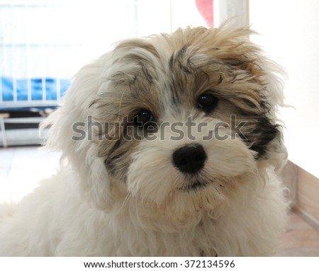 Cute little white puppy dog - cross Basset - Maltese