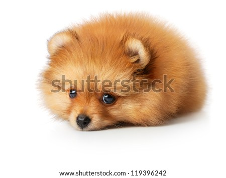 Cute little yellow baby spitz with sad eyes. Iisolated on white - stock photo