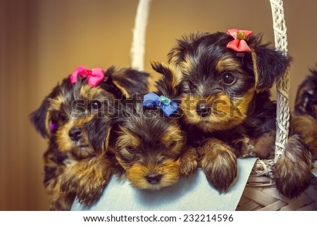 Cute little Yorkshire terrier dog puppies with head fur tied with colorful bows resting in a basket. Shallow depth of field. - stock photo