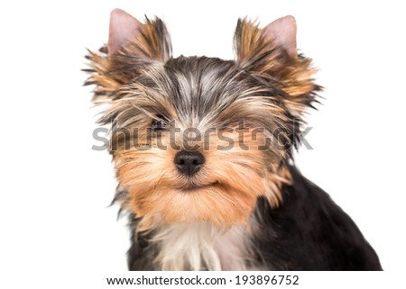 Cute little yorkshire terrier puppy winking.