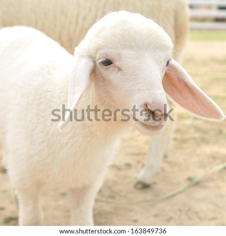 Cute little young sheep in farm, square size - stock photo