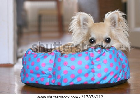 Cute longhair chihuahua hiding and relaxing in a polka dot dog bed indoors, looking at camera - stock photo