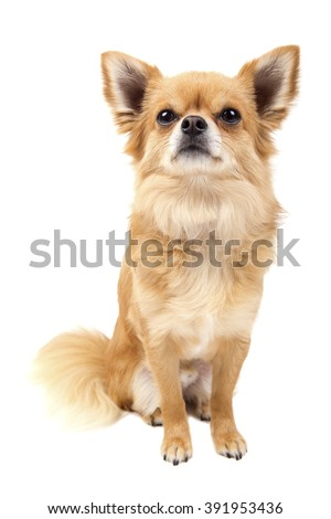 Cute looking Chihuahua isolated on white - stock photo