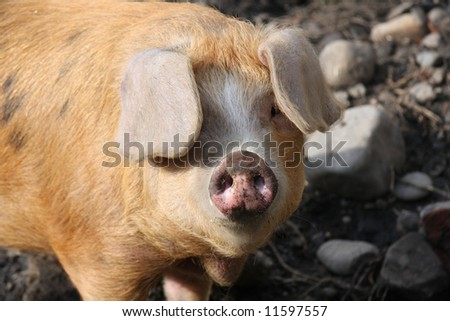 Cute looking pig who is in his outdoor pig pen - stock photo