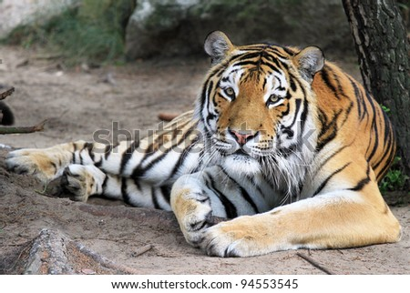 Cute looking tiger lying down looking at the camera - stock photo