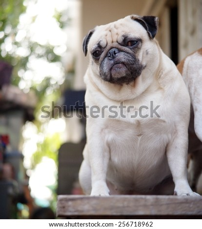 cute lovely white fat pug dog portraits close up sitting on a wooden table making funny face under morning sunlight and green home outdoor background - stock photo