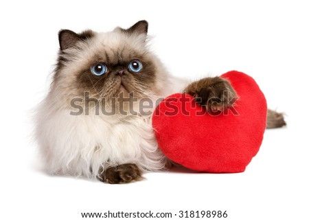 Cute lover valentine persian colourpoint cat with a red heart, isolated on white background - stock photo