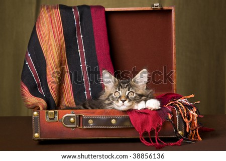 Cute Maine Coon kitten sitting inside brown suitcase - stock photo