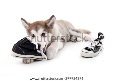 Cute Malamute puppy chewing gumshoes isolated on white - stock photo