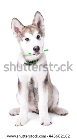 Cute Malamute puppy sitting with tooth brush, isolated on white