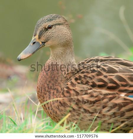 Cute Mallard Duck Close-Up - stock photo