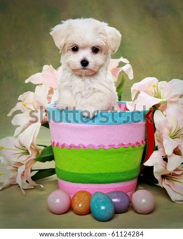 Cute Maltese puppy in Easter basket - stock photo