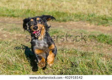Cute Merle Longhaired Dachshund running on the green field.