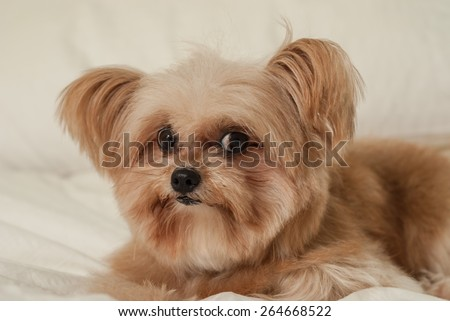 cute mixed breed dog staring at camera in bed - stock photo