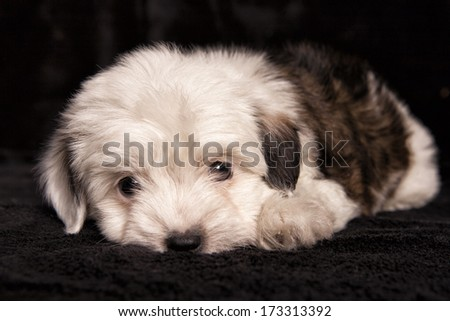 Cute mixed breed toy puppy lying on black background - stock photo