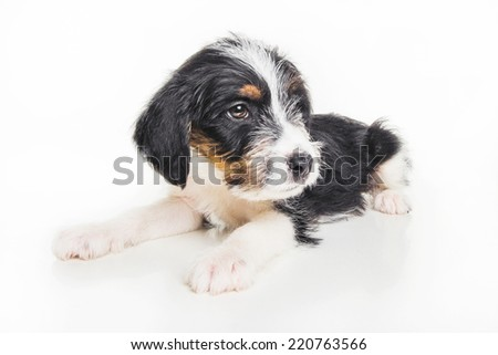Cute 1 month old wire haired jack russell mix puppy against white background