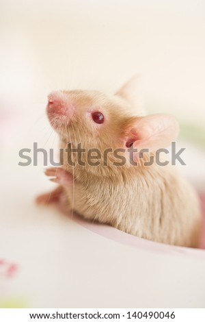 Cute mouse rat rodent looking out of a toy house window