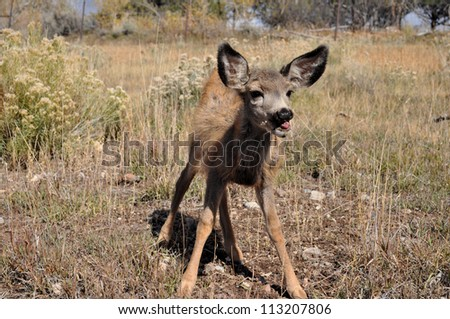 Cute Mule Deer Fawn - stock photo