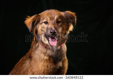 Cute mutt dog at dark background studio photo - stock photo