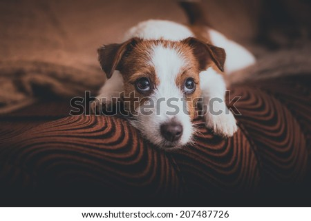 cute muzzle. Dog Jack Russell Terrier - stock photo