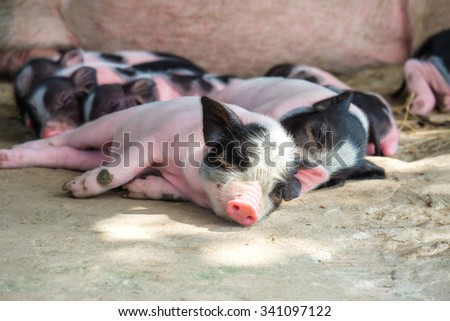 Cute newborn Pigs , Little pig sleeping - stock photo
