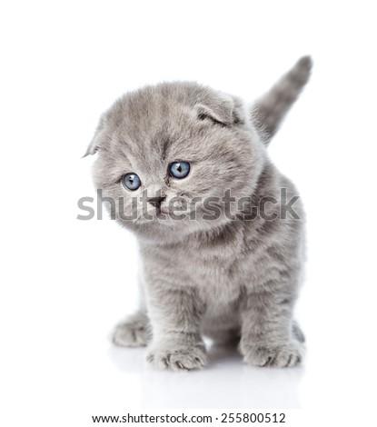 Cute newborn scottish kitten standing in front. isolated on white background - stock photo